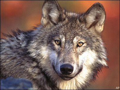Oregon reevaluates wolf management plan