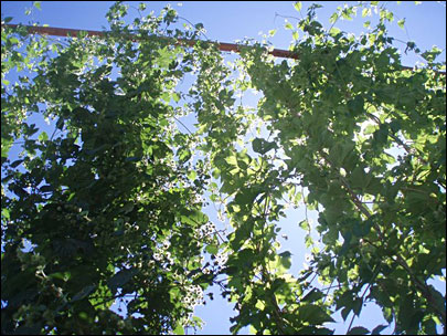 Growers: Craft brewers 'want good organic hops'