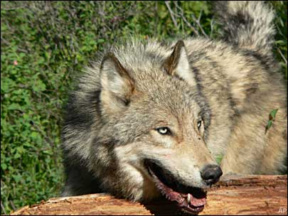 Montana seeks 'conservation hunt' for wolves