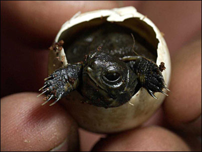 Zoo helps endangered turtles grow up right