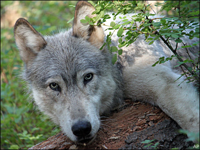 $10,000 reward in killing of wolf