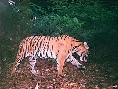 Wild tigers could face extinction in just 12 years