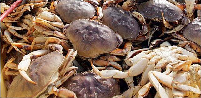 Commercial Dungeness crab season further delayed