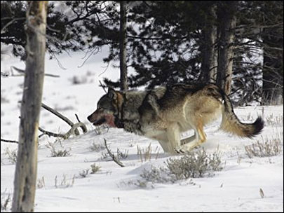 Federal protection restored for wolves