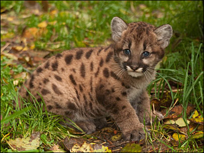 New cougar cub at Oregon Zoo on exhibit Nov. 11