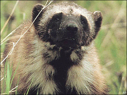 Climate outlook grim for wolverines in lower 48