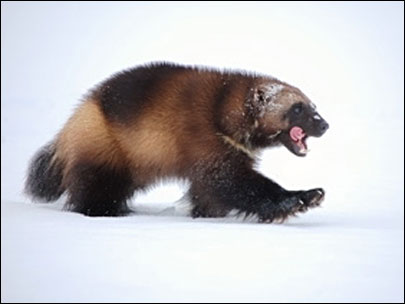 Feds: Wolverines need protection but have to wait