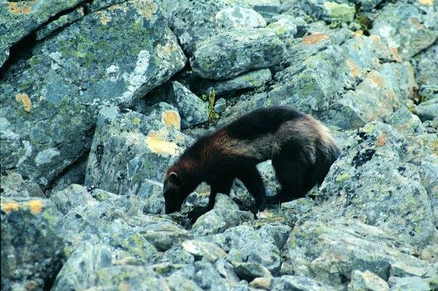 101213wolverine_roy_anderson_usfws