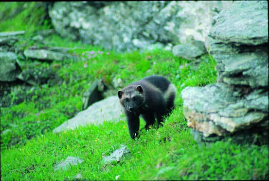 101213wolverine_roy_anderson_usfws3