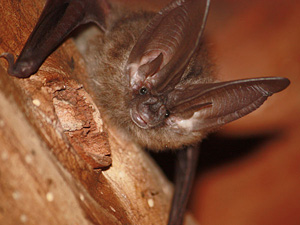 102710_townsends_bat_face_odfw