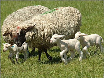 Public invited to OSU sheep barns to watch lambing