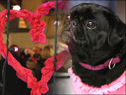 Pugentine Day event celebrates pug love