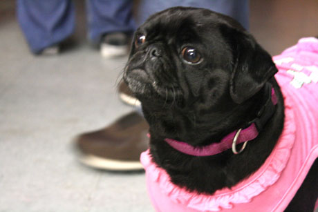 110215pugs_gallery.jpg (2)