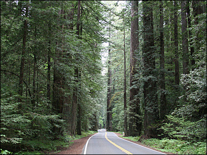 Project to widen bridges could hurt redwoods