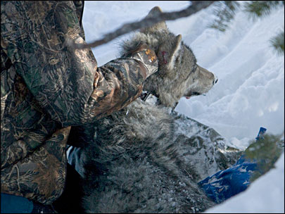 Radio collar leads biologists to dead wolf