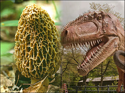 Study: Dinos didn't eat morels - more for us!