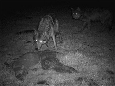 State report questions federal wolf investigations