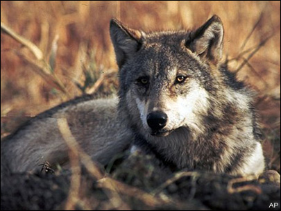 House passes bill paying ranchers for livestock killed by wolves