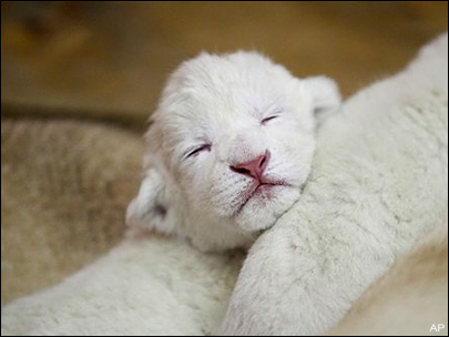 lion and lioness and cub. lion and lioness and cub. 4 white lion cubs born at zoo