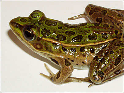 'Amphibians are not evolving fast enough'
