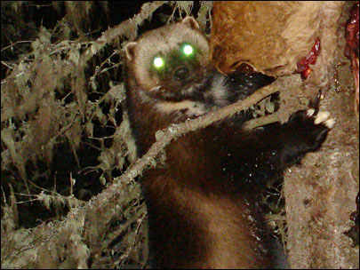Trail camera catches glimpse of Oregon wolverine