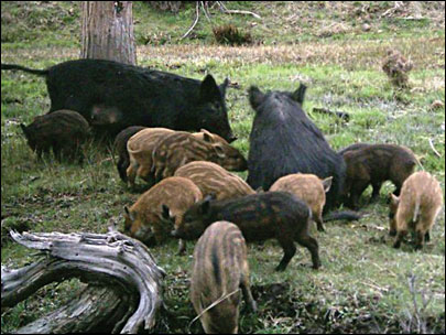 Not high on the hogs: Oregon out to eradicate feral swine