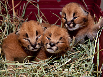 Oregon Zoo: Caracal kittens = C-U-T-E