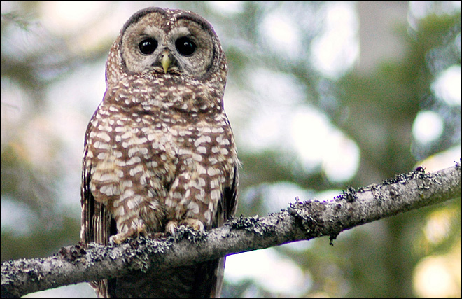 Obama plan for spotted owl: kill rival barred owl