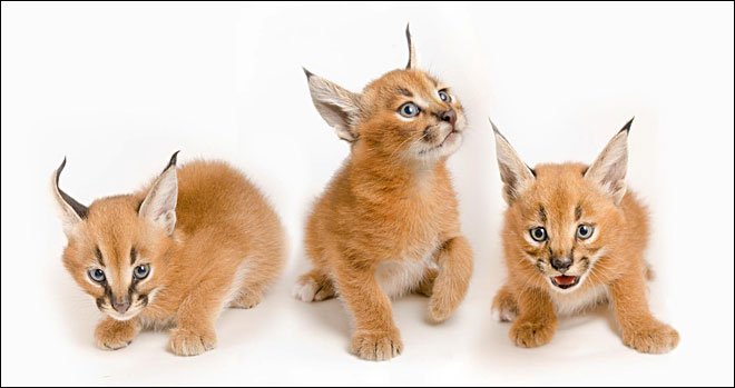 Oregon's caracal kittens: Meet Mkuze, Binti and Aziza