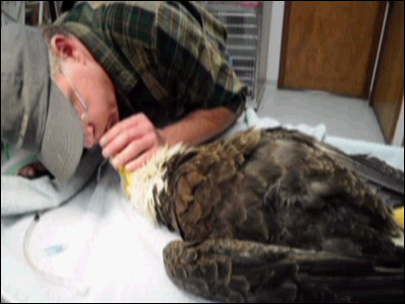 Bald eagle saved by vet's mouth-to-beak CPR