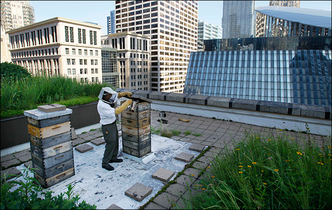 Amid bee die-off, healthy hives thrive in cities