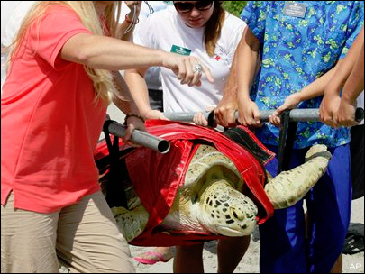'Miracle turtle' released as crowd cheers in Florida
