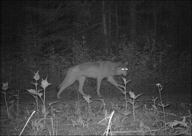 Trail camera captures wolf