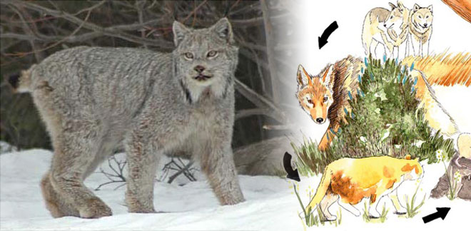 OSU study: Wolves could help save lynx from extinction