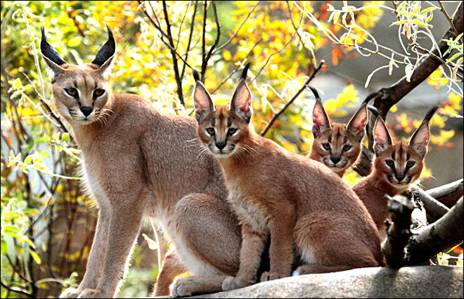 You can go see caracal kittens starting Saturday