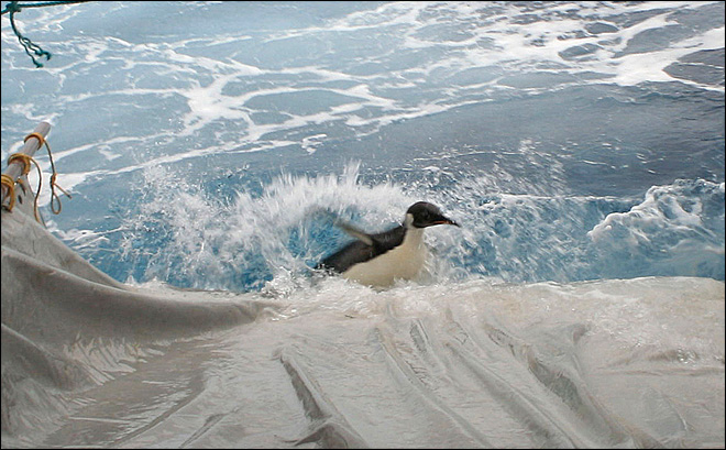 Wayward penguin released back into the wild