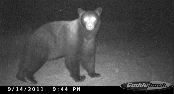 Trail cam snaps pics of bear, cougar and deer, oh my!