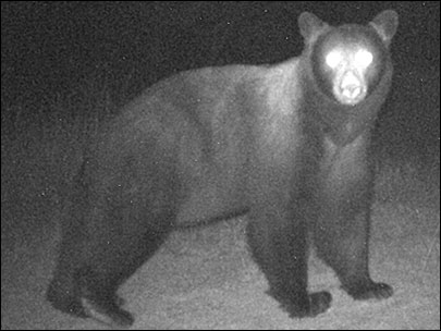 'We expect bears to be coming into towns'