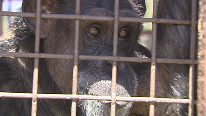 Chimps taste 'next best thing' to freedom