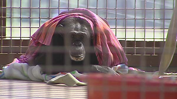 38-year old chimp, Jody, loves to wrap herself with towels and blankets