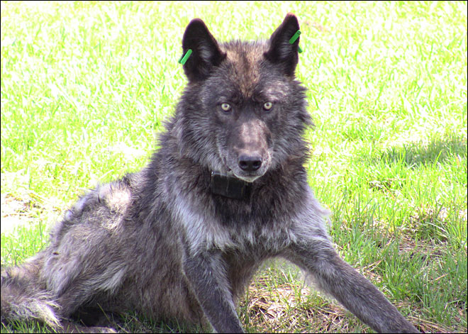 Court stays kill order for cattle-killing wolves