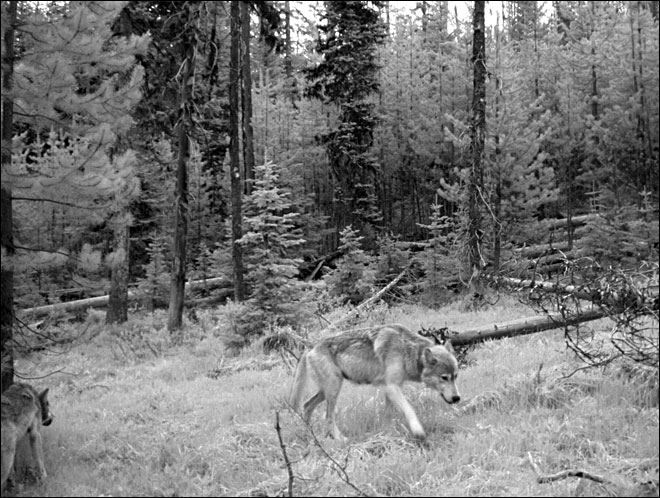 Trail camera image of wolves