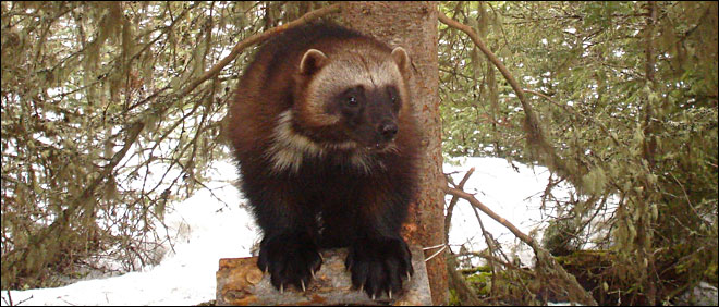 Do wolverines live in Oregon's Cascades?