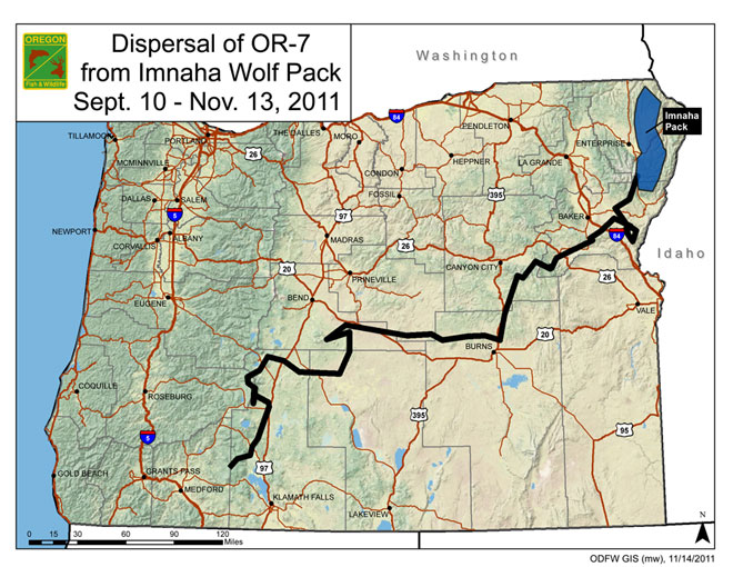 Wandering wolf continues tour of Oregon