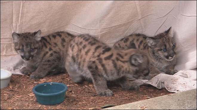 Orphan cougar cubs get help from Oregon Zoo