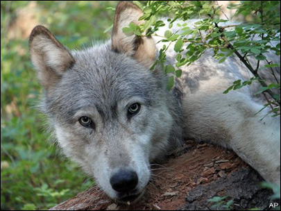 Wandering wolf treks closer to Oregon