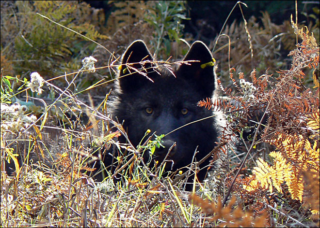Oregon wolf crosses border into California