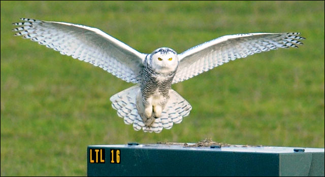 Appearance of snowy owl puzzles Oregon biologists