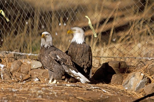 Rescuing Klamath Eagles