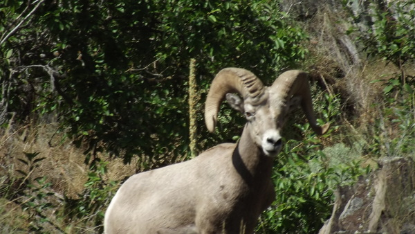 Big Horn Sheep near Snake River